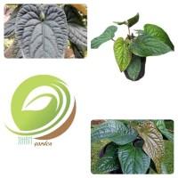 bibit tanaman hias daun anthurium sirih-pohon anthurium sirih