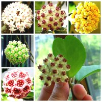 Mb Egrow 20Pcs/Pack Hoya Seeds Potted Seed Hoya Carnosa Flower