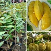 Bibit tanaman Durian Montong Pohon durian Montong Okulasi