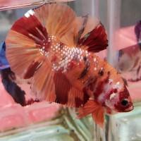 Jenis Ikan Cupang Nemo Cooper