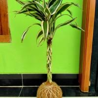 kokedama bambu hoki tanaman hoki srirejeki