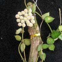 tanaman hoya veruculosa