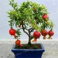 Biji Buah Bonsai Delima Mini Pomegranate Tree Seeds Very Sweet Delicio