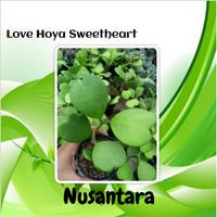 Love Hoya Sweetheart
