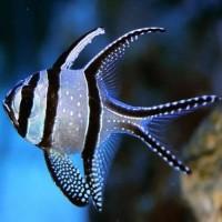 ikan hias air laut capungan ambon - ikan capungan bangai