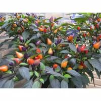 Bibit Benih Bolivian Rainbow Pepper/ Cabe warna warn