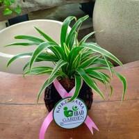 KOKEDAMA Mondo grass variegated - tanaman hias indoor