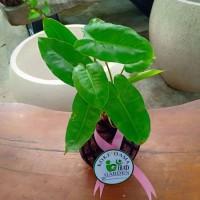 Tanaman hias indoor KOKEDAMA Philodendron burle marx