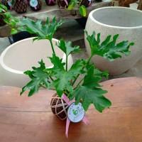 Tanaman hias di dalam ruangan KOKEDAMA Philodendron jari selloum