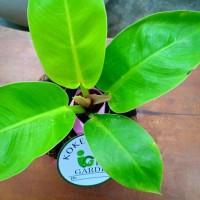 Tanaman hias indoor KOKEDAMA Philodendron moonlight lemon