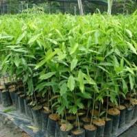 H3!I Jual Tanaman Bibit Pohon Gaharu Super Bibit / Biji / Benih