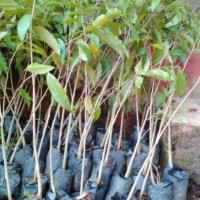 Jon Jual Tanaman Bibit Pohon Gaharu Super Bibit / Biji / Benih