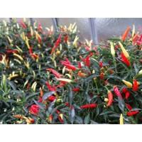 Bibit / Benih Cabe Sparkler Hot Pepper Isi 10 Biji