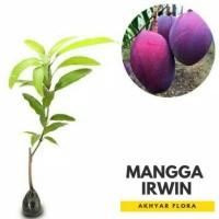 Bibit Tanaman Buah Mangga Irwin Trend