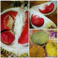 Bibit Durian montong merah kaki 3