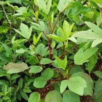 Tanaman Hias - Bibit Herb Rosela Z3R0