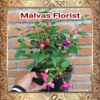Tanaman Hias - Bibit Bunga Gantung Fuchsia Anting India Ungu L3N