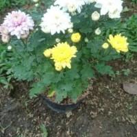 Tanaman Bunga Aster / Bibit Bunga Aster Inp0Rt