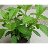 Tanaman Sambung Nyawa/Nyowo/Akar Sebiak -Bibit Herbal Hidup-