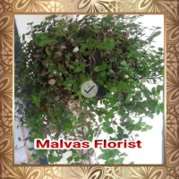 Tanaman Hias - Bibit Bunga Gantung Kribo Hijau Di5Kon