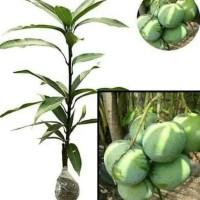 Bibit Pohon Mangga Apel - Tanaman Buah Manggah Appel - Merah K4J!