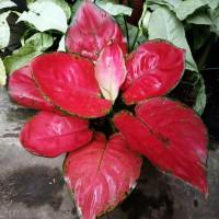 aglonema red ajamani