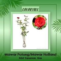 Bibit Tanaman Hias Mawar Potong / Mawar Holland I5B