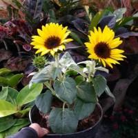 Tanaman Hias - Bibit Bunga Matahari Mini Paling Laris