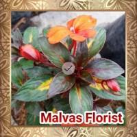 Tanaman Hias - Bibit Bunga Impatien Guinea Inp0Rt