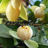 Bibit Tanaman Bunga Cempaka Telor Kuning Big Sale♨❐