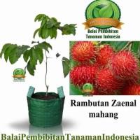 #As_ Bibit Rambutan Zaenal Mahang / Bibit Buah / Tanaman Sp2