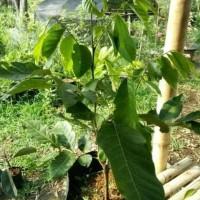 Original Bibit Pohon Buah Rambutan Rapiah/Ropiah #1