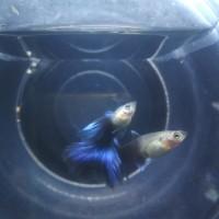 Ikan Guppy Blue Tuxedo