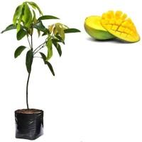Bibit Pohon Mangga Harum Manis/Tanaman Buah Mangga Harummanis/Manggah