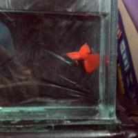 Ikan guppy albino full red
