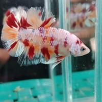 Jual Ikan Cupang Hias Nemo Di Tasikmalaya Harga Terbaru 2020