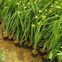 Tanaman hias airis bunga kuning 35cm pohon pagar