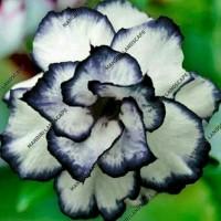 Bibit Bunga Kamboja Adenium Rare Black White Desert Rose