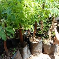 bahan bonsai asem jawa