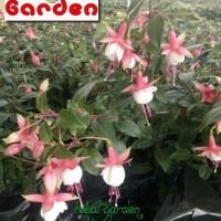 Tanaman hias lampion bunga merah putih