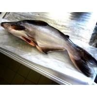 Ikan Patin Fresh -- 1000 Gram
