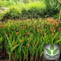 Pisang Heliconia / Pohon Pisang Pisangan