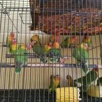 burung Lovebird josan ( balibu )