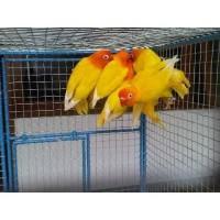 burung Lovebird paskun ( balibu )