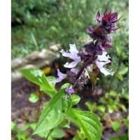 Bibit / Benih / Seeds Herb Cinnamon Basil For Herbal Tea and Poutporri