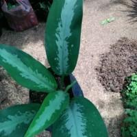 tanaman hias aglonema srirejeki - aglonema srirejeki