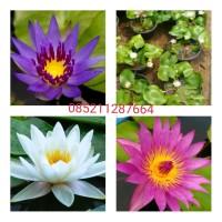 Tanaman bunga teratai air