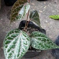 Bibit tanaman daun sirih merah (obat