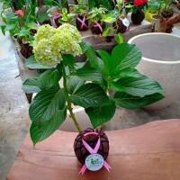 Tanaman Bunga mudah perawatan KOKEDAMA hortensia biru macrophylla