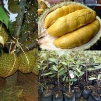 Bibit Durian Montong